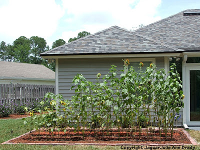Sunflower Plants Growing in my Garden May 31, 2013
