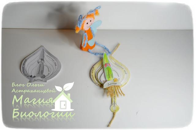 строение-луковицы-тюльпана-модель