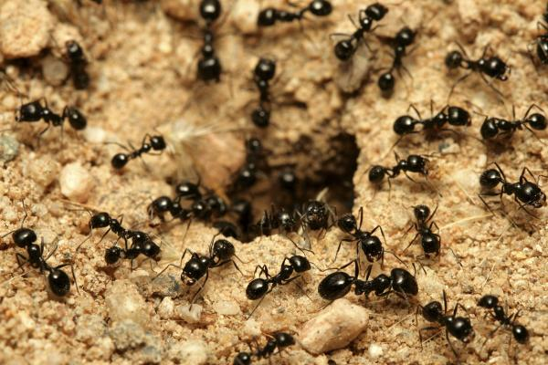 tratamientos eliminar hormigas Castellón