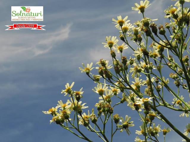 Senecio bonariensis Margarita del bañado Pillahuincó flores