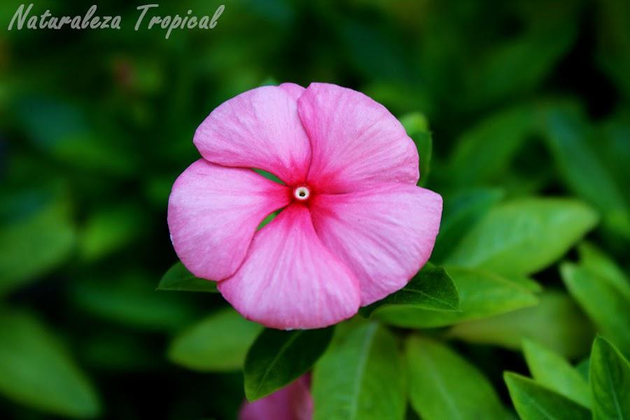 Variedad rosado claro de la flor vicaria, Vinca rosea o Catharanthus roseus