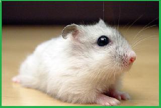 harga hamster