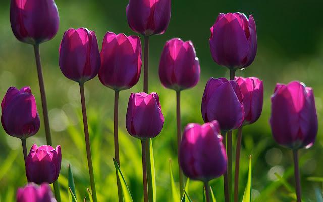 Цветок имени Раиса тюльпан