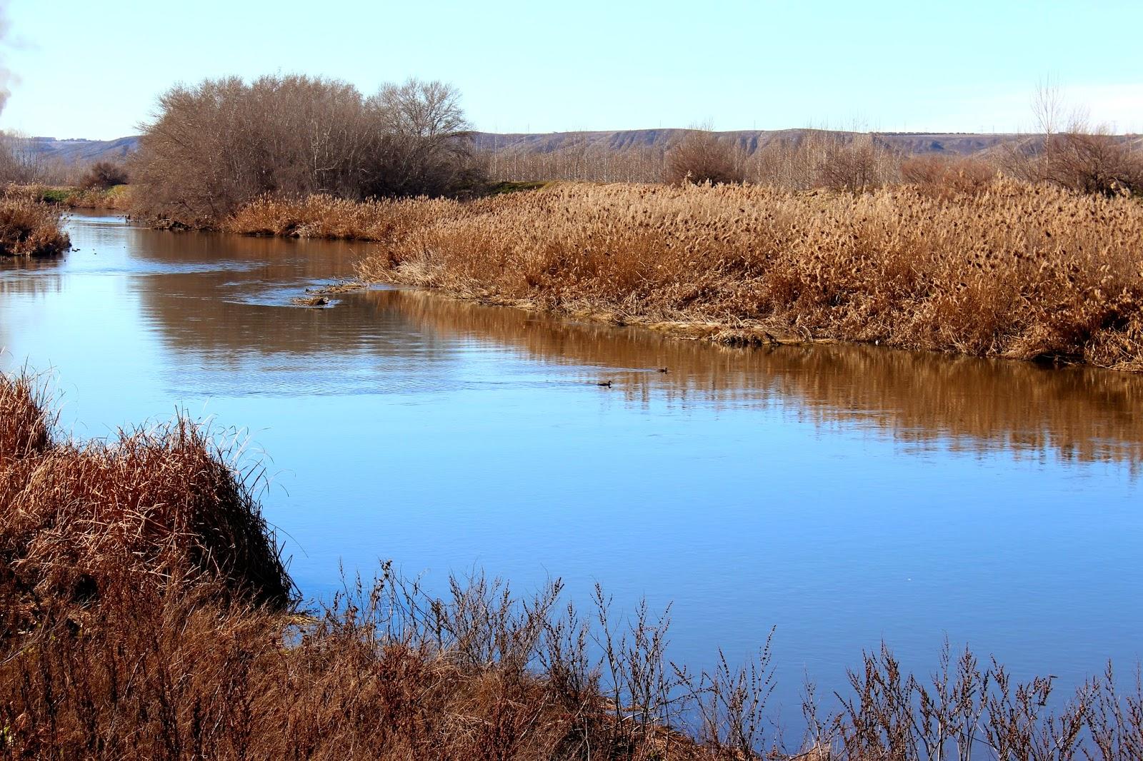 Fochas en el río Jarama- soto Bayona-Titulcia