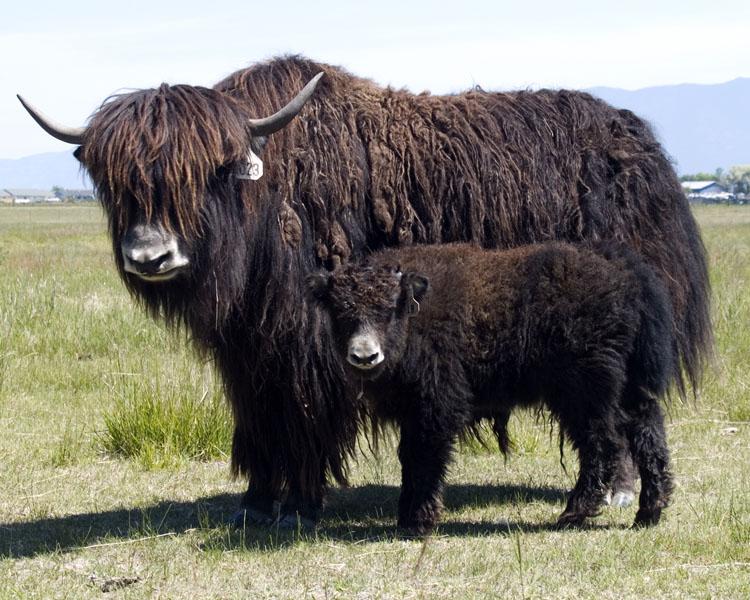 Image Of A Yak: Animal Wildlife