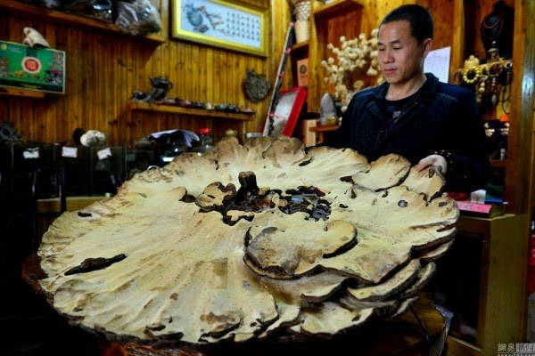 Jamur Raksasa Terbesar, Jamur Untuk Pengobatan, Jamur Besar Luar Biasa