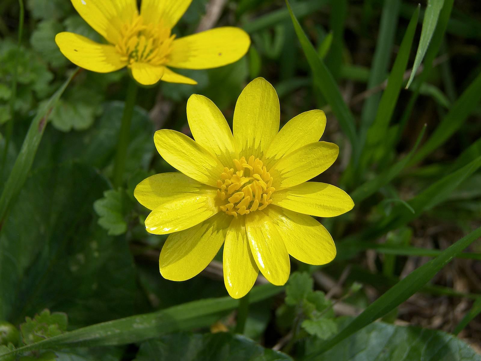Flower Picture: Daisy Flower # 1