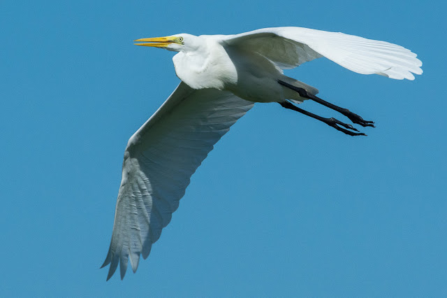 Great Egret, Smith Oaks Audubon Sanctuary
