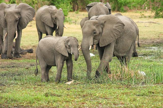 Image: African Bush Elephant, by Michael Siebert on Pixabay