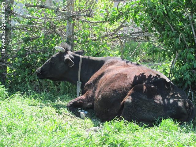село Тополи - корова