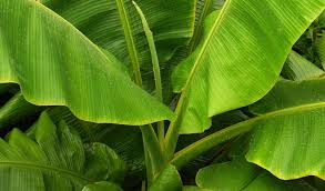 How to Use Banana Leaves As Natural Herbal medicine