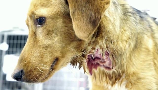 Lola, la perra con mordiscos en todo el cuerpo que lucha por vivir