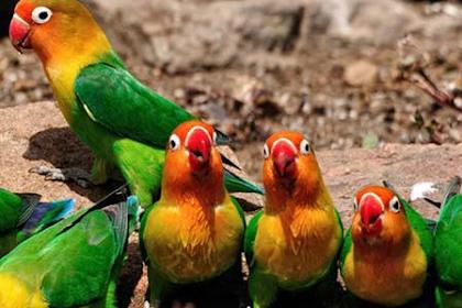 Ciri-ciri Lovebird Kacamata Fischeri
