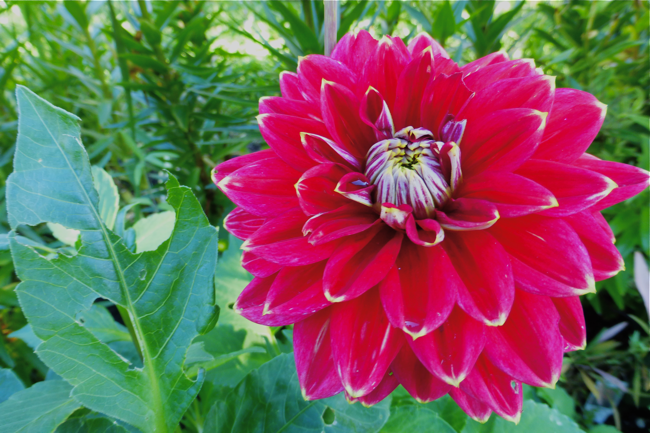dahlias, red dahlia, Dazzling Dreams Blend, Dazzling Dreams Blend dahlia, garden