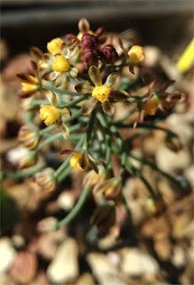 Eriospermum