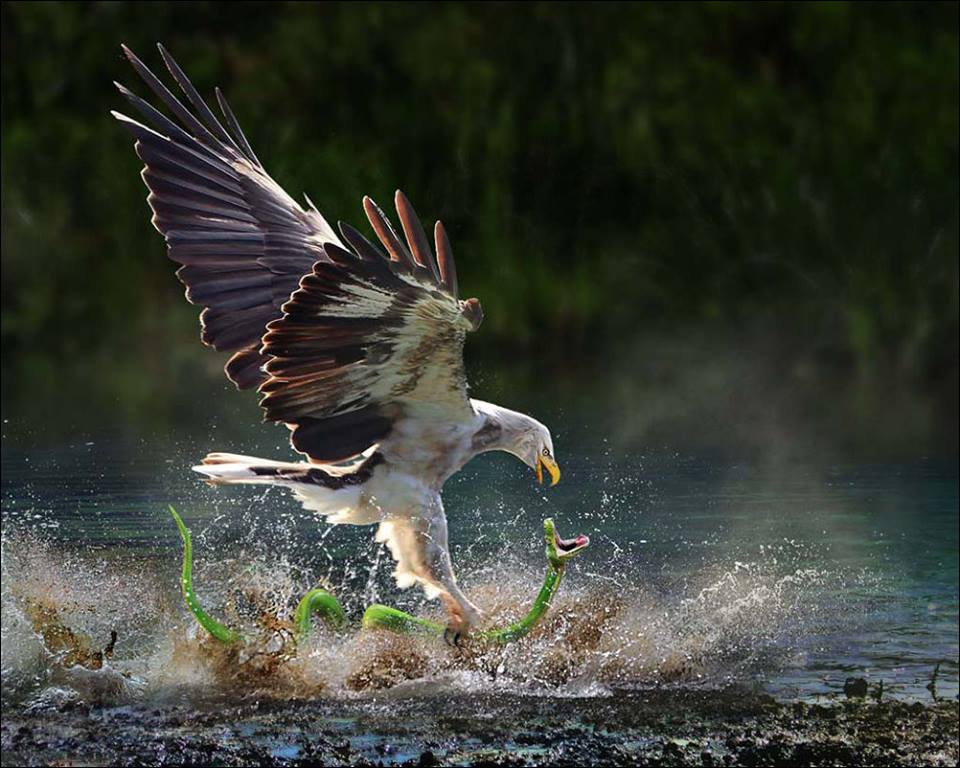 Wildlife Eagle catching snake