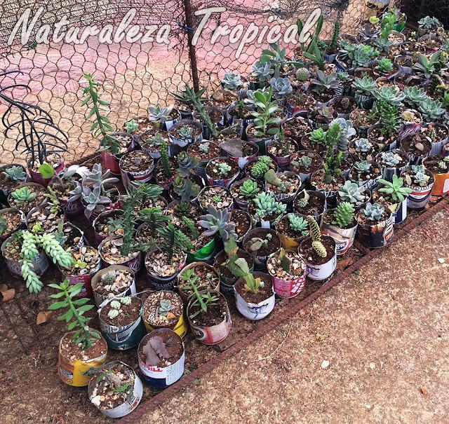 Latas recicladas para cultivar plantas suculentas