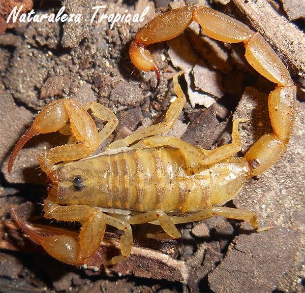 Una especie de escorpión, Centruroides guanensis