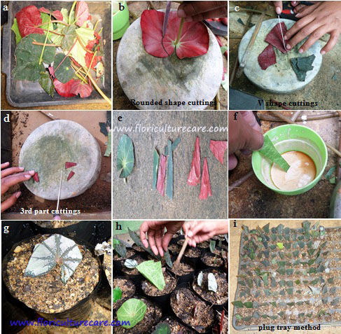 Begonia plants Propagation by leave parts