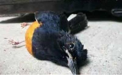 Beginilah Cara Bagaimana Mendeteksi Burung Sakit?