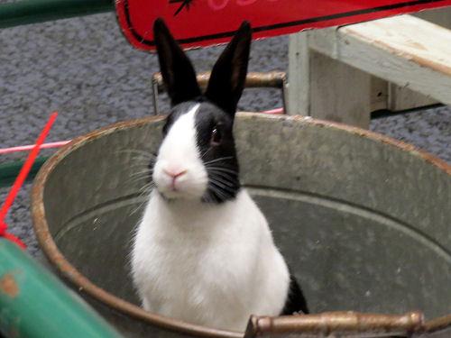 tuxedo rabbit in a pail