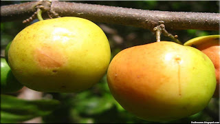 Indian jujube fruit images wallpaper