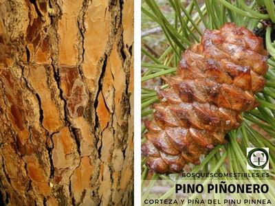 Imagen de la Corteza y Piña del Pino Piñonero, Pinus pinea