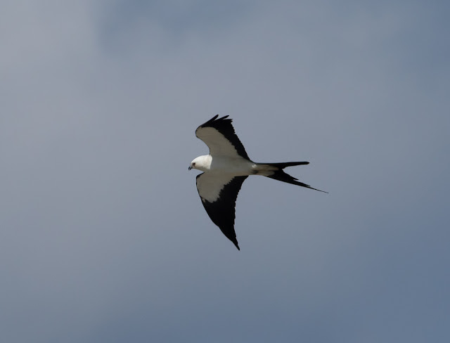 Swallow-tailed Kite - Stormwater Treatment Area 5/6, Florida