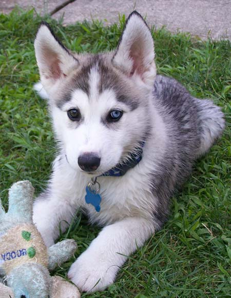 Akc Registered Siberian Husky Puppies For Sale In Colorado Alvin
