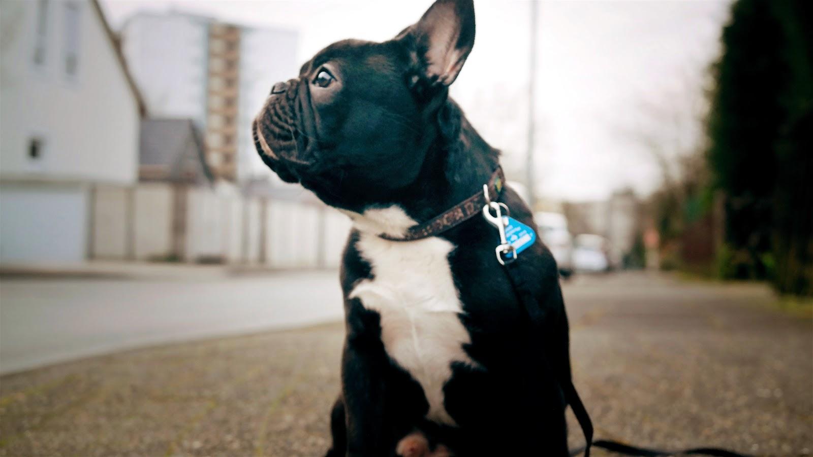BENTLEY BLOGGT TEIL 4 🐶  | Das erste Weihnachten einer französischen Bulldogge