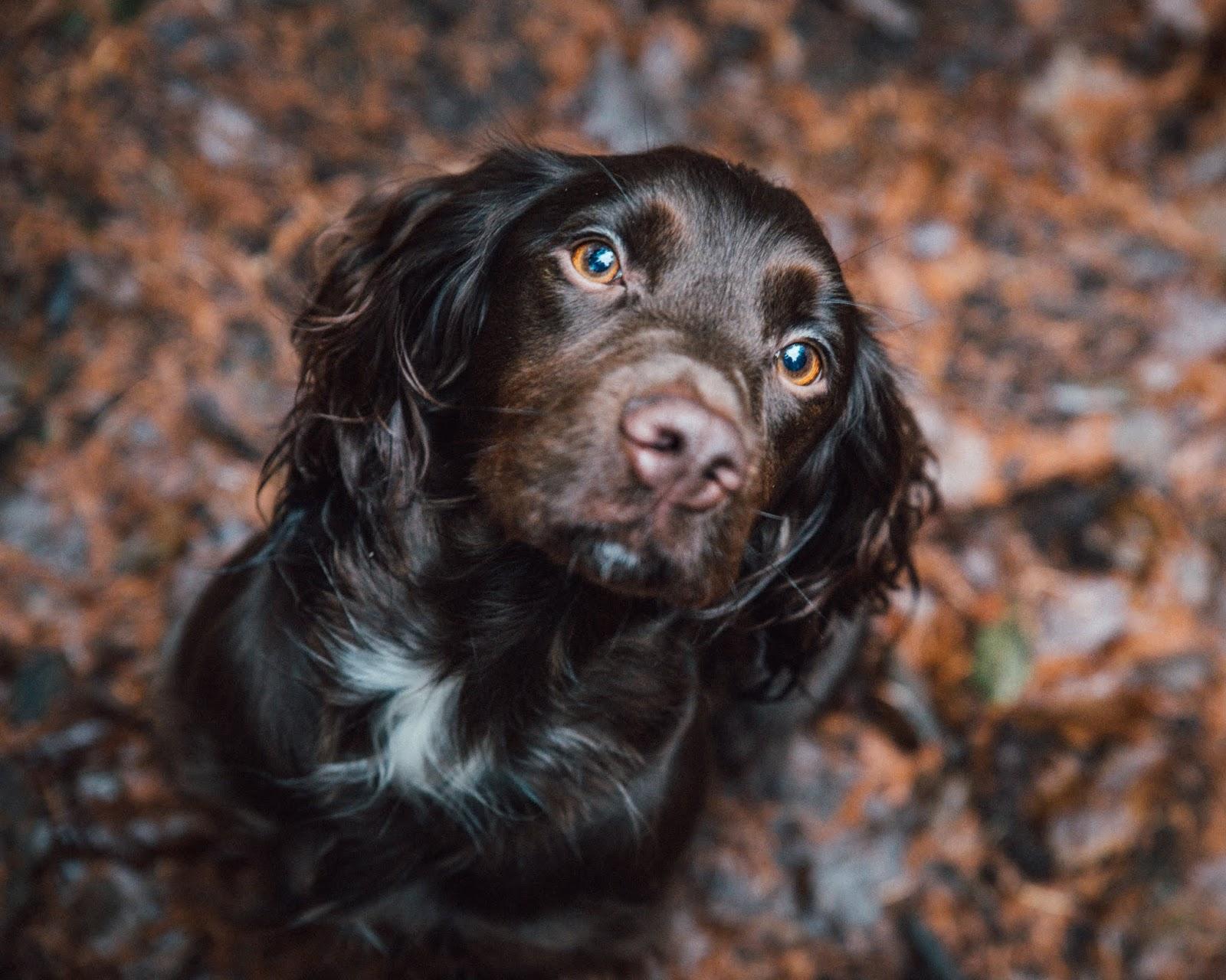 cocker spaniel golden eyes chocolate autumn leaves liquid grain