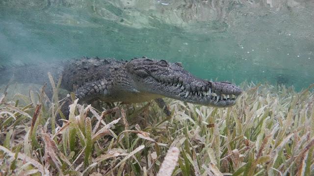 Caribbean crocodile in seagras
