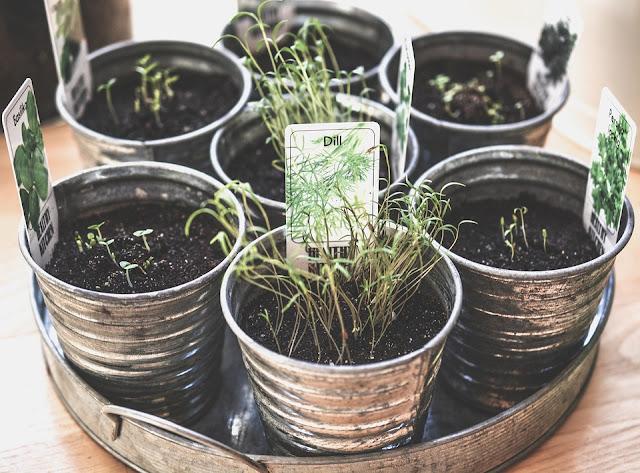 Gdzie założyć ogródek ziołowy?