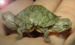 mutant kaplumbağa