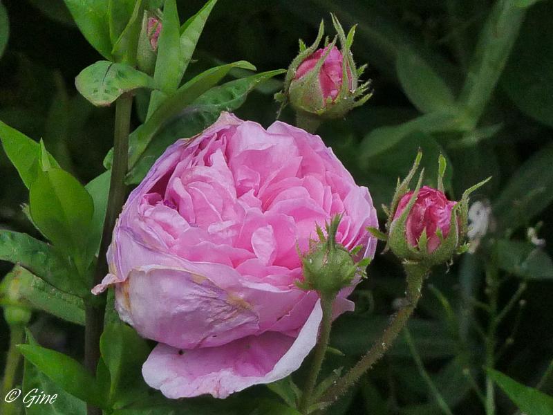 Au jardin de gine roses et cl matites - Deplacer un rosier ...
