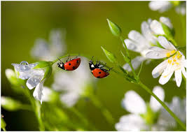 Joaninhas - Como os demais coleópteros, passam por uma metamorfose completa durante seu desenvolvimento; seus ovos eclodem em 1 semana e o estágio larval é de 3 semanas, durante o qual o inseto já apresenta a mesma alimentação do adulto (imago).