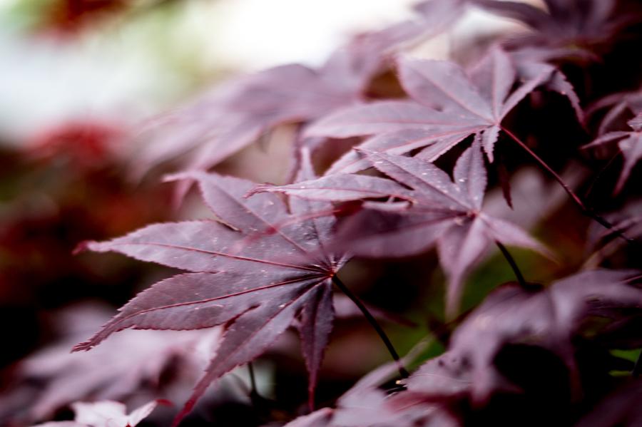 Blog + Fotografie by it's me! | fim.works | Typisch für meinen Garten | Blätter vom roten japanischen Ahorn