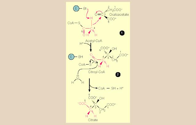 Pembentukan Sitrat Pada Siklus Krebs