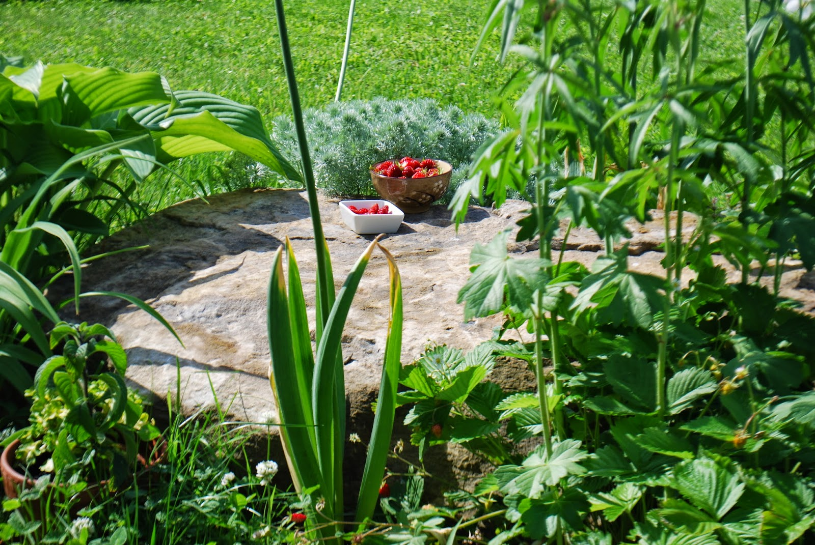 Jardin Sur Une Terrasse jardin, terrasse arbuste tropical jeune plant d'eleagnus