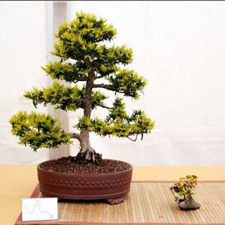 شجرة بونساي 4