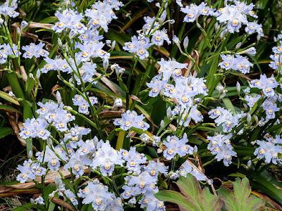 Shaga (Iris japonica) flowers: Kaizo-ji