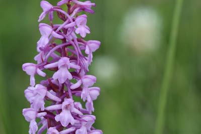 [Orchidaceae] Gymnadenia conopsea – Fragrant Orchid (Manina rosa)