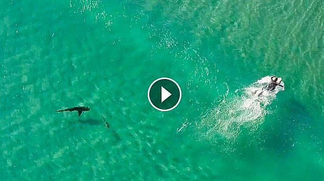 Sharks Approach Surfers Fort Pierce Inlet Incredible 4K Drone Footage DJI Mavic Pro