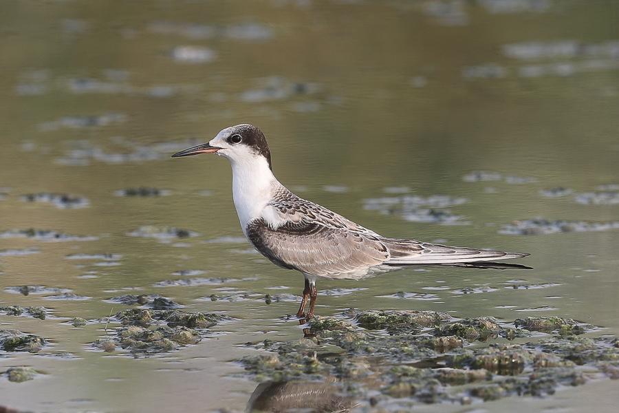 White-cheeked Tern - juvenile