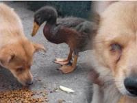 Kisah Pilu Persahabatan Dua Hewan yang Dibuang oleh Pemiliknya, Si Bebek Menjaga dan Merawat Anjing yang Buta Ini, Tapi Beginilah Akhirnya