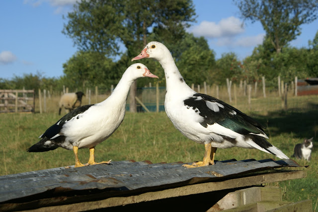 Ducks at Eco-Gites of Lenault