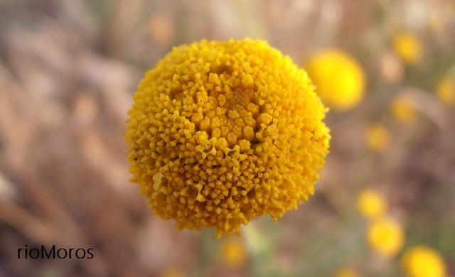 Botonera o abrótano Santolina rosmarinifolia