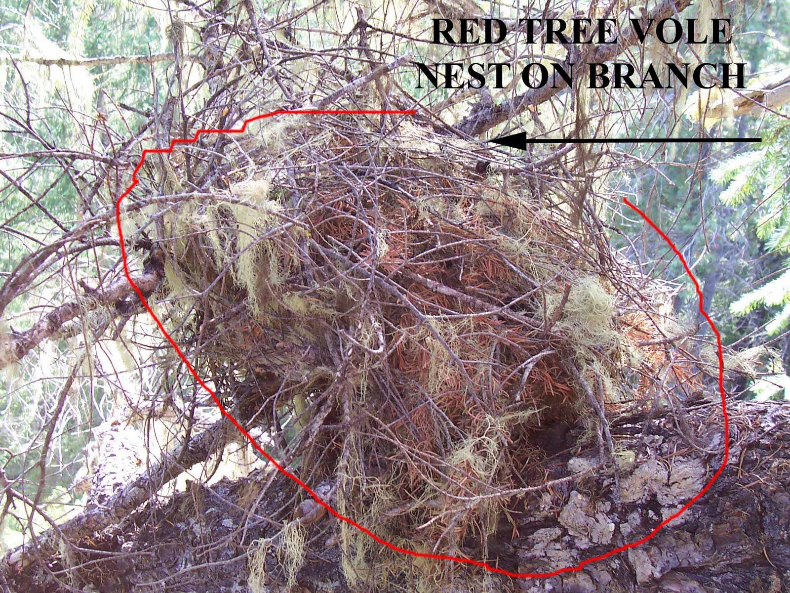 Red Tree Vole