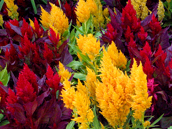 bright red and yellow tufty plants