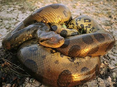 อนาคอนด้าเขียว (Green Anaconda)
